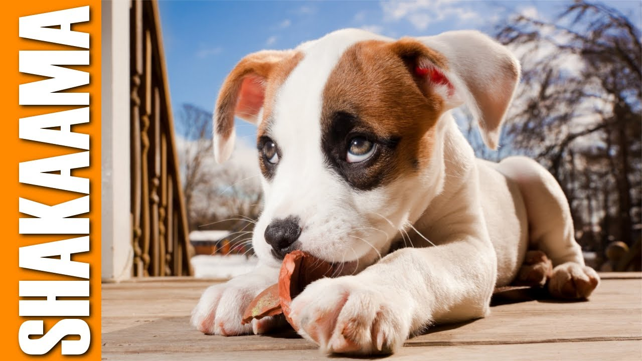 Pit Bull Boxer Mix Puppies Youtube