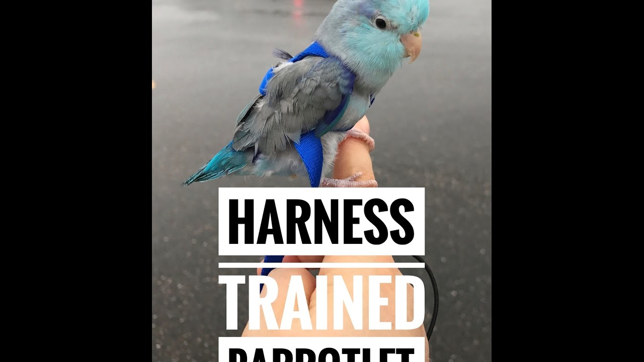 Parrotlet Training Harness Training Amp Harness Review