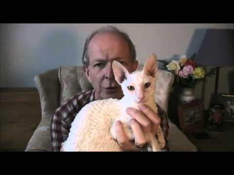 Rexclusive's Billy Idle a Cornish Rex cat