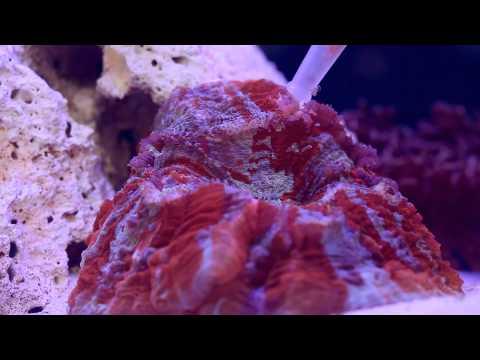 LPS Brain Coral Feeding
