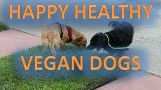 Happy Healthy Vegan Dogs - Dachshund & Dachshund Mix - Get Your Health Up