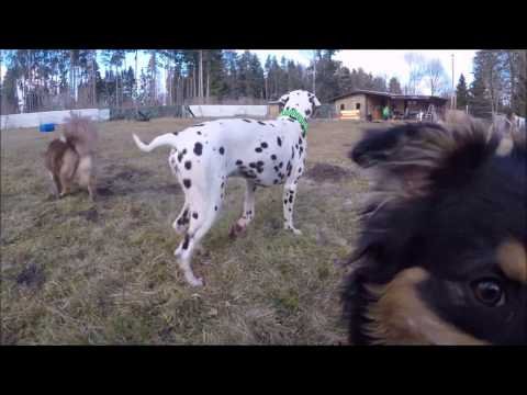 Mystic Highlands Australian Shepherds & Dalmatian