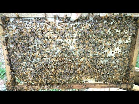 Giải thích tại sao ong thích đẻ cầu cũ hơn cầu mới trong mùa hè này   Đu Đủ TV  