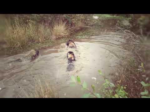 Leonberger Antics episode 126