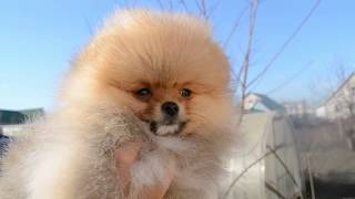 Купить щенка померанского шпица из питомника