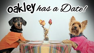 Ep#9: OAKLEY HAS A  DATE! - (Cute & Funny Dachshund Dogs Dating)