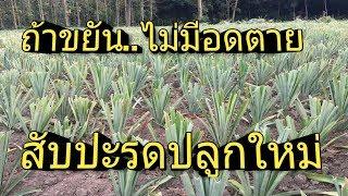 #ถ้าขยัน..ไม่มีอด. สับปะรดปลูกใหม่#Pineapple garden #สับปะรด#Pineaapple#