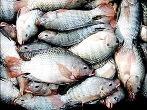 Federal Government On Fish Importation Into Nigeria