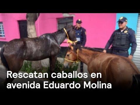 Rescatan caballos en  avenida Eduardo Molina