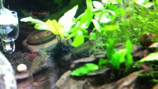 My 10 gallon planted fish tank- RCS, amanos, otos!