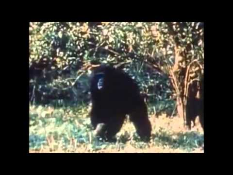 Chimps Using Sticks As Weapons