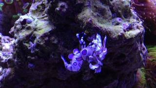 Harlequin Shrimp Eating Asterina Sea Star
