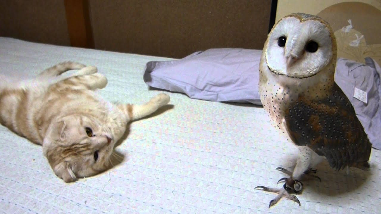 My barn owl and cat | FunnyCat.TV