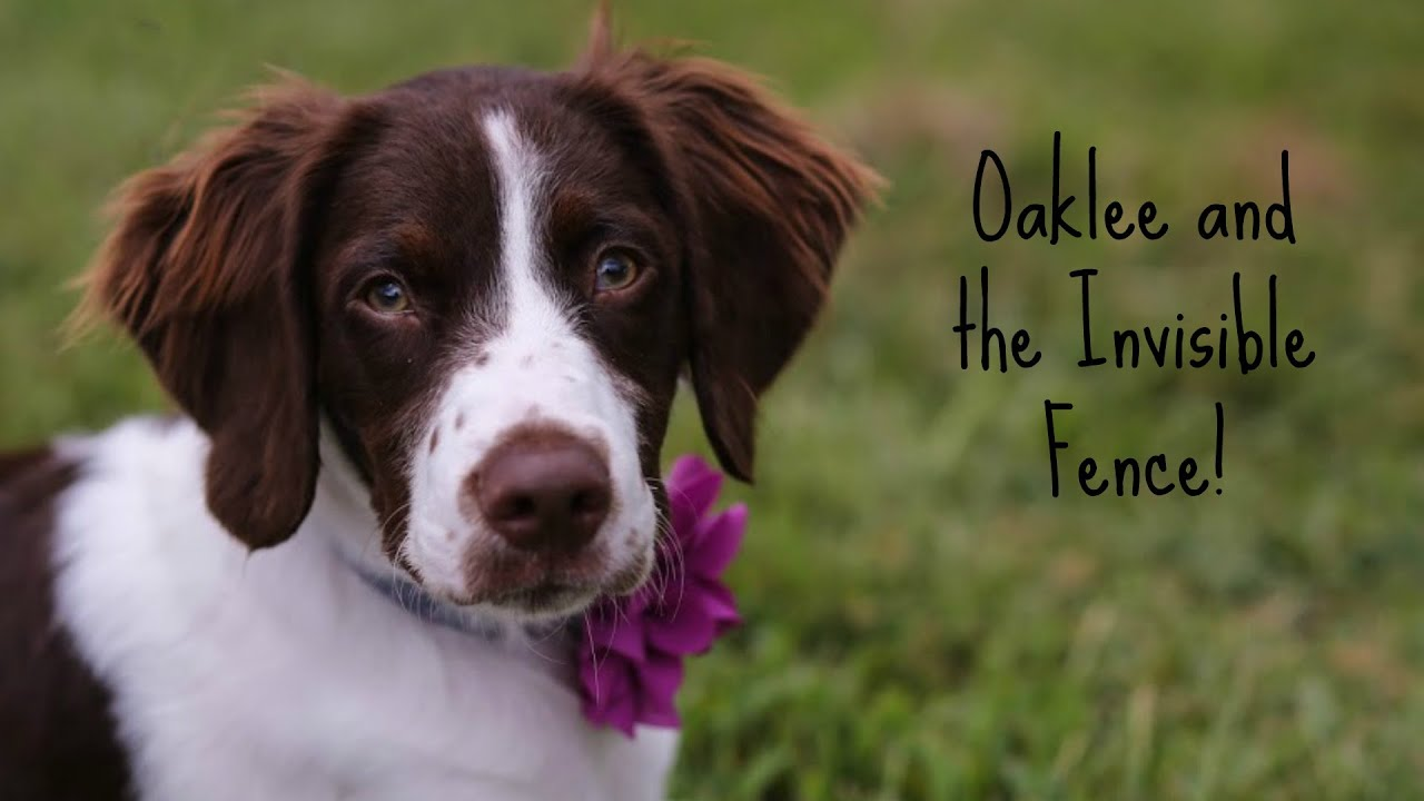 miss oaklee gets an invisible fence see how well she responds to the training