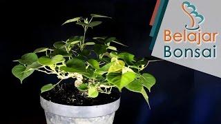 Cara Membuat Bonsai Waru - Beberapa Jenis Waru