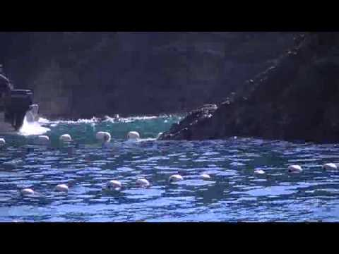 Dolphins herded to slaughter