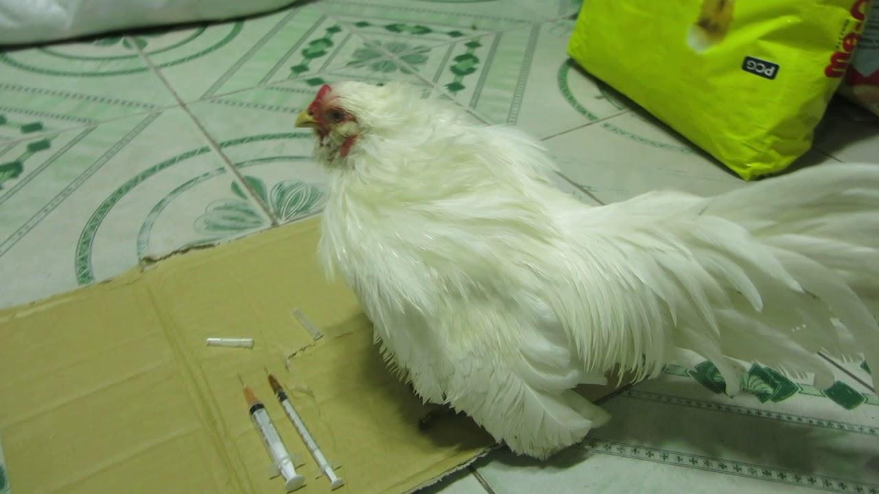 Cách chích thuốc cho gà hiệu quả