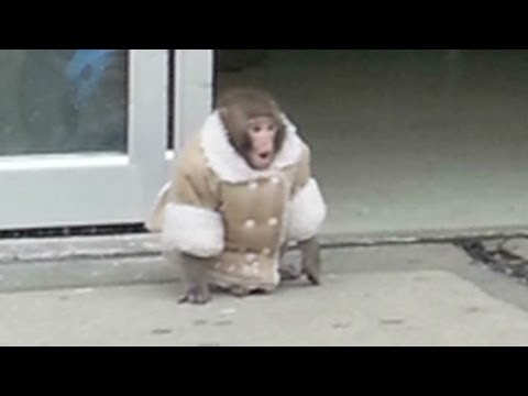 Lost monkey roams Ikea - YouTube