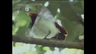 Bird of paradise acrobatics display - David Attenborough - BBC wildlife