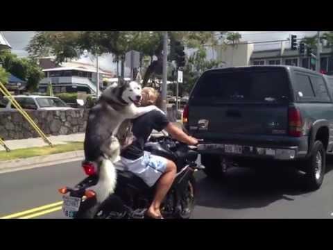 Husky Driving Car