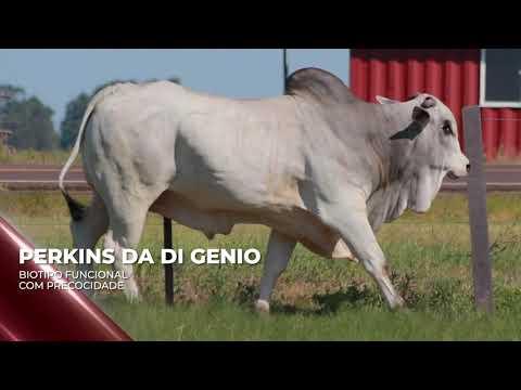 Touro Perkins da Di Genio - Nelore indicado para IATF - RENASCER BIOTECNOLOGIA VIDEO