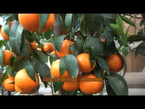 kumquat clementine mandarine zitruspflanzen bei youtube. Black Bedroom Furniture Sets. Home Design Ideas