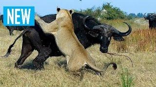 Гангстеры дикой природы — Буйволы (Документальные фильмы HD)  борьба диких животных