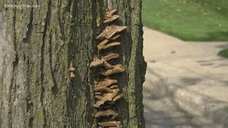 Weakened trees pose safety threat during storms
