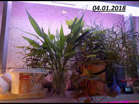 Драцена Сандера, или «бамбук счастья» размножение черенками