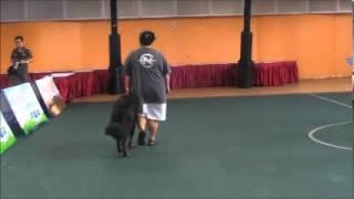 Dog Training Video Singapore - Tibetan Mastiff In Obedience Trial