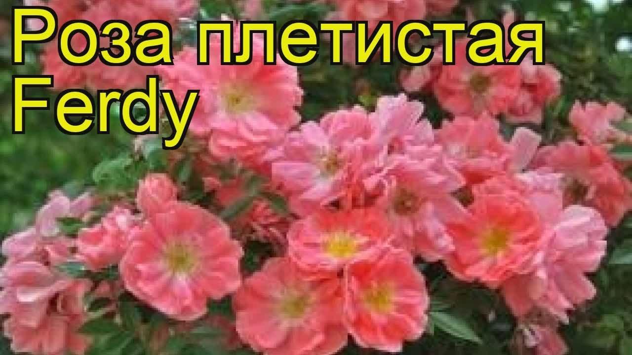 51 красная роза. Цветы Новая Голландия. Интернет магазин цветов .
