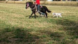 Dalmatian Road Trial Speed Exercise