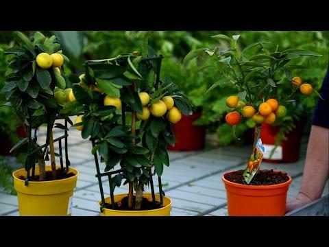 Цитрусовые растения - советы по сбору урожая