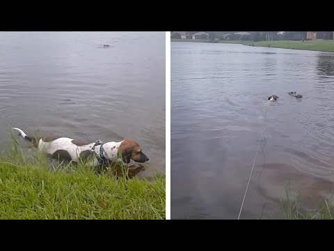 Dog Nearly Gets Attacked By Alligator