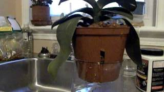 Sphag and Bag orchid repotting in clay pellets.