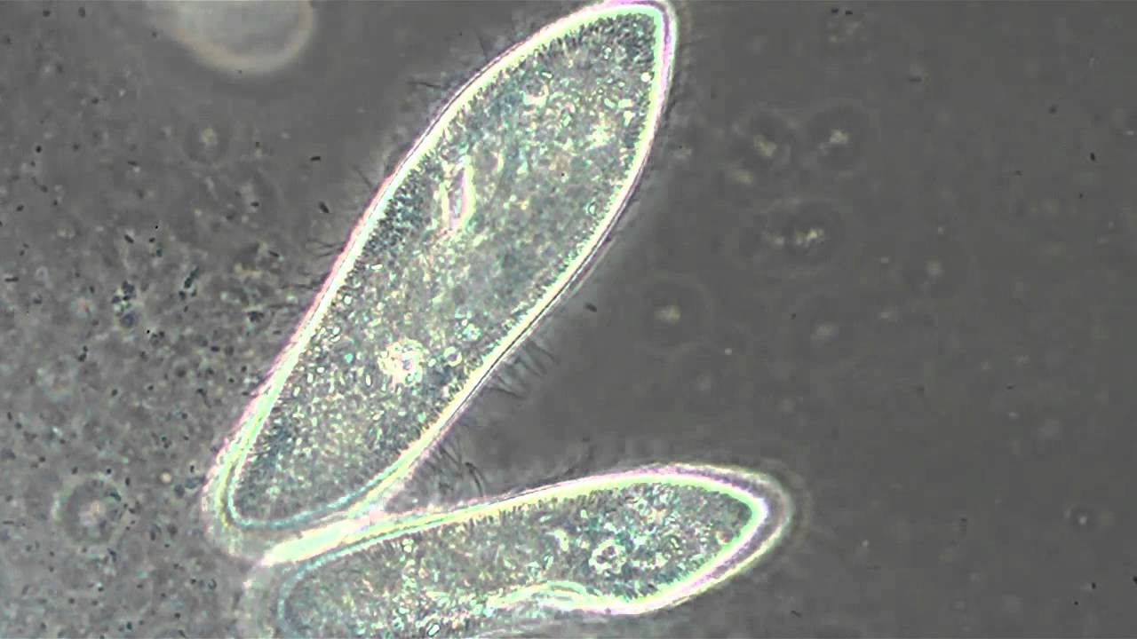 Paramecium's In Phase Contrast - YouTube