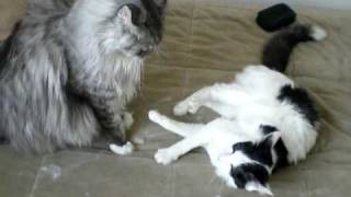 maine coon vs housecat