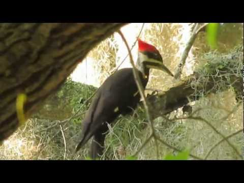 Pileated woodpecker pecking and eating bugs