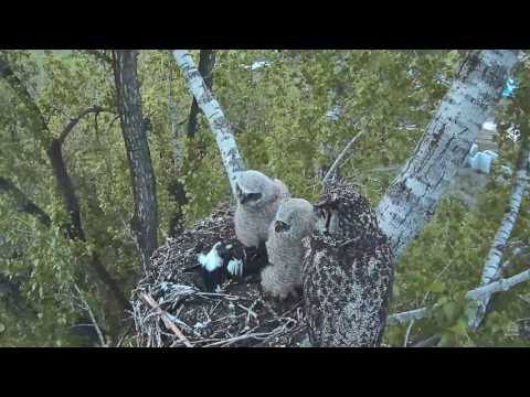Great Horned Owls - Two magpies delivered to the nest - 05-18-17