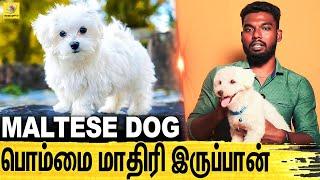நம்ம மடியிலேயே தான் இருப்பான் : All About Dogs EPISODE  22 | Maltese Dog | Dogs Lifestyle