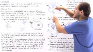 Mechanism of B Lymphocytes