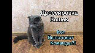 Кот выполняет команды?! Дрессировка кошек. Как научить кота командам?
