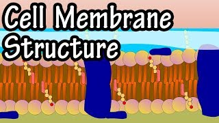 Cell Membrane Structure And Function - Function Of Plasma Membrane - Plasma Membrane Of A Cell
