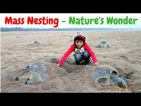 Olive Ridley Sea Turtles Laying Eggs || Mass Nesting  Arribada