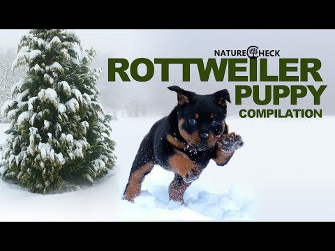 Rottweiler Puppies Compilation 2018