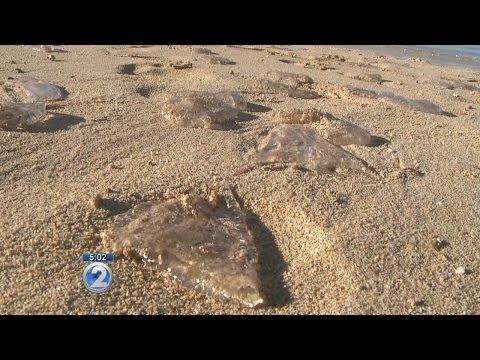 More Than 1,000 Box Jellyfish Wash Ashore