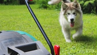 Мелкая Теа с газонокосилкой /  Small Thea with lawn mower