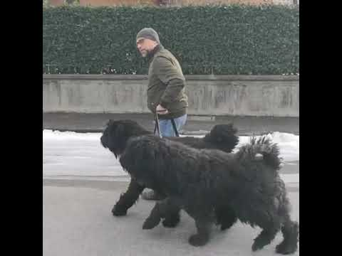 BOUVIER DES FLANDERS Dogs