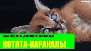 Котята каракалы - экзотические животные