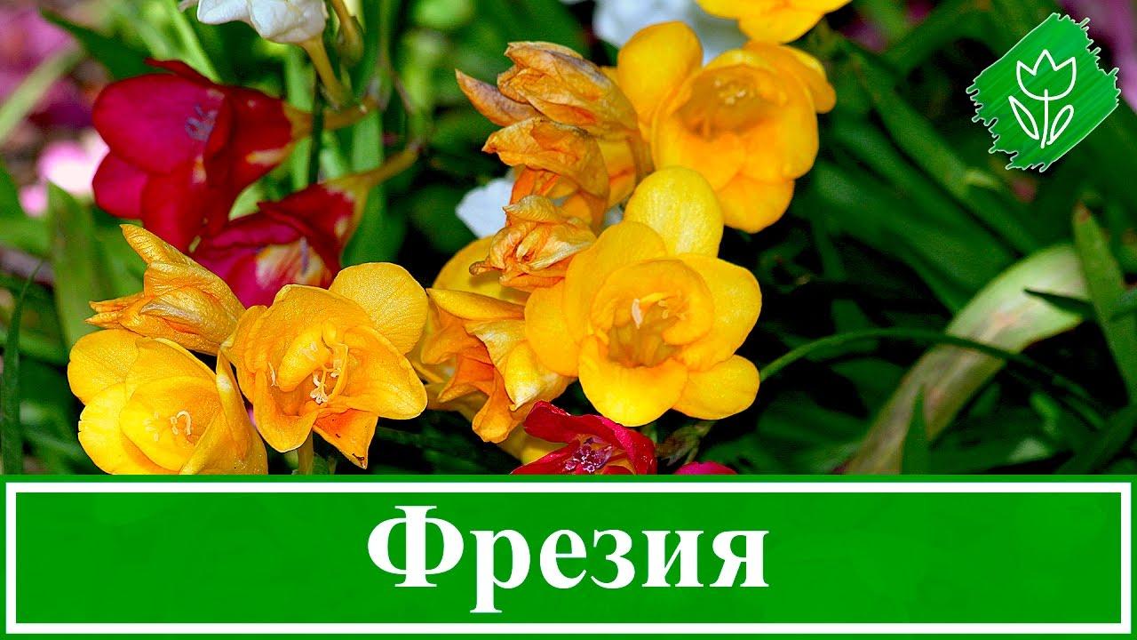 Выращивание фрезии в саду и в домашних условиях